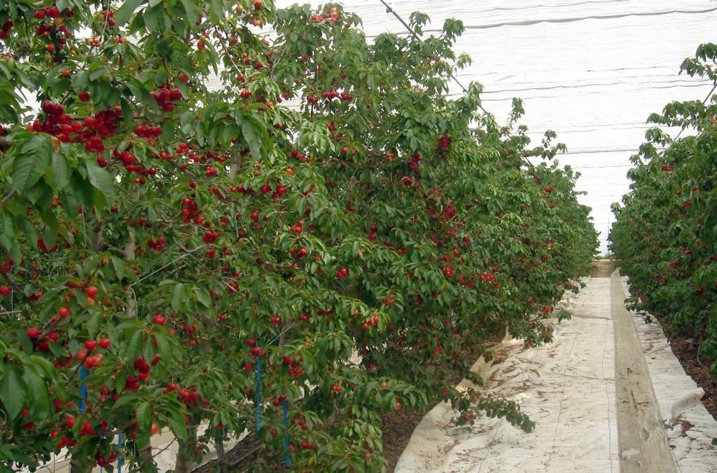 cultivo de manzana con malla rompeviento y mala cubresuelos dm tecnologias
