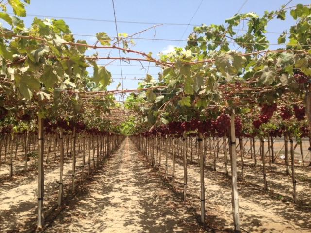 cultivo de uva en el valle de guadalupe ensenada baja california