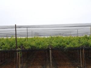 malla rompevientos antigranizo y antipajaros en uva2
