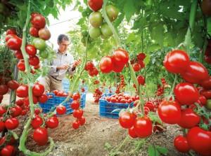 tomates-960x623